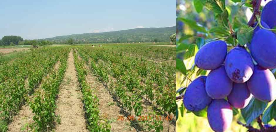 Kalem-voće-Miladinović